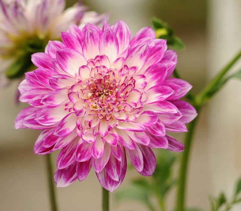 Selective Focus Photography of Pink and White Petal Flower stock photography