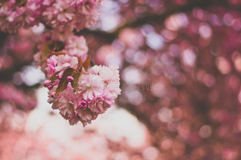 Selective Focus Photography of Pink and White Petaled Flowers stock images