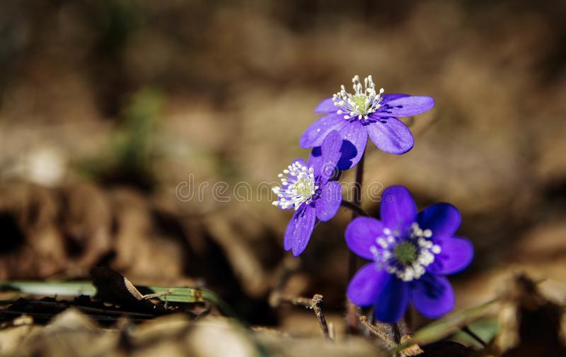 Selective Focus Photography of Purple Petaled Flowers royalty free stock image