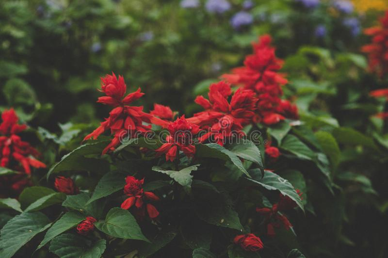 Selective Focus Photography of Red Petaled Flowers stock photos