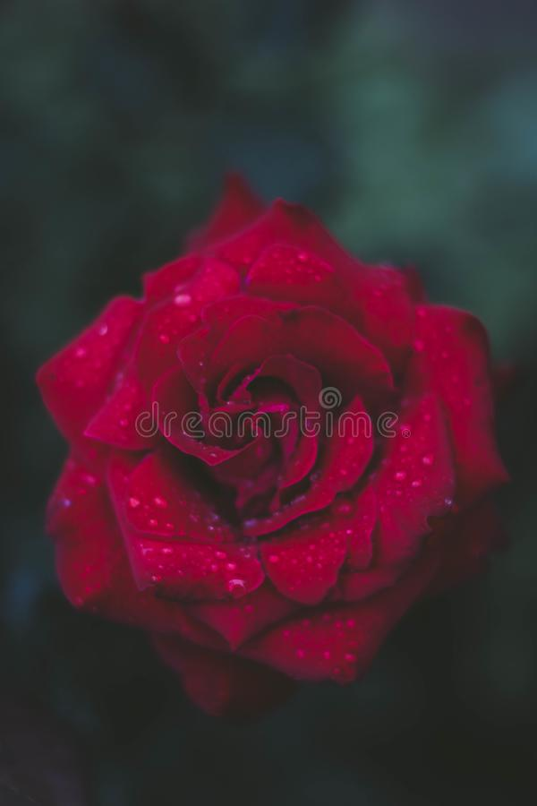 Selective Focus Photography Of Red Rose Free Public Domain Cc0 Image