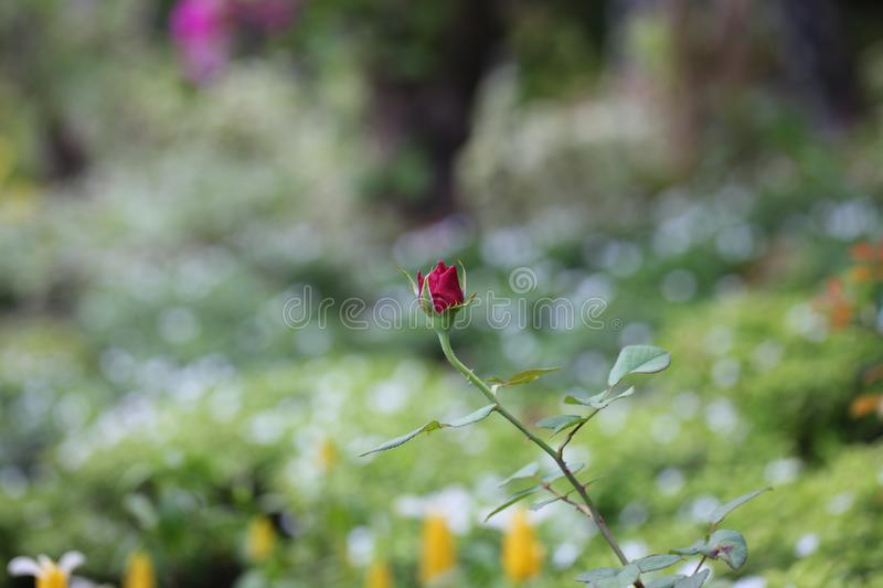 Selective Focus Photography of a Red Rose Bud stock photos