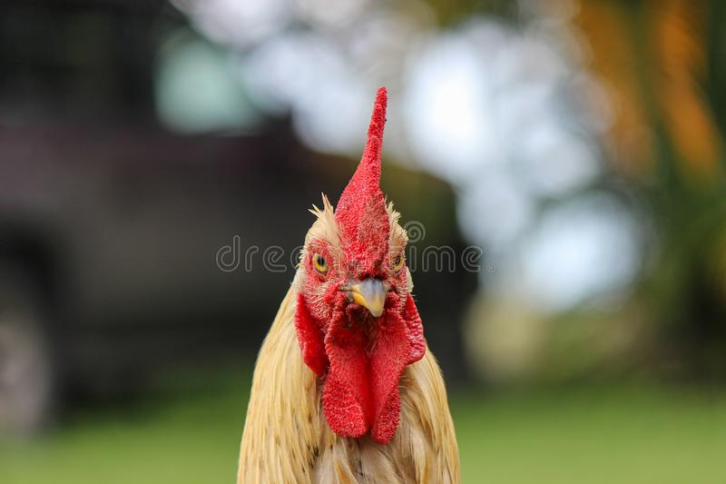 Selective Focus Photography of Rooster's Head stock photos