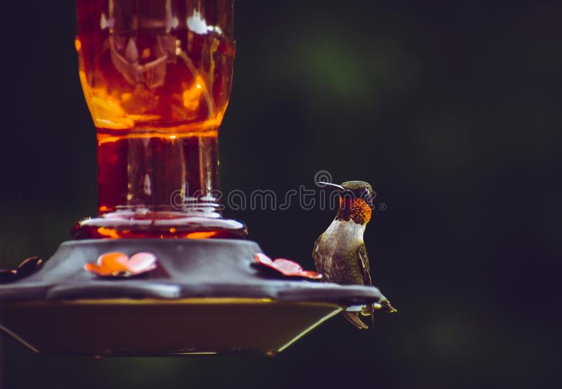 Selective Focus Photography of Ruby-throated Hummingbird Perched on Bird Feeder stock photography