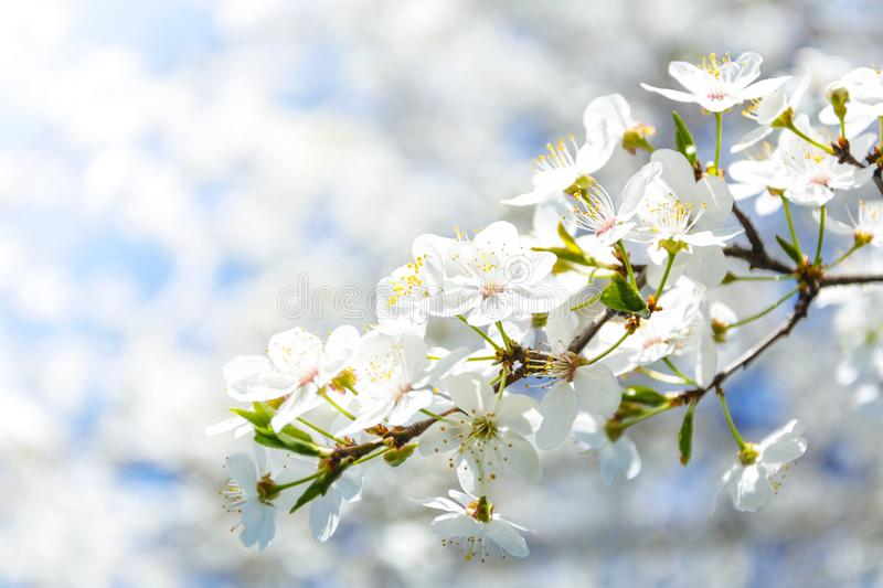 Selective Focus Photography of White Cherry Blossom Flowers royalty free stock image