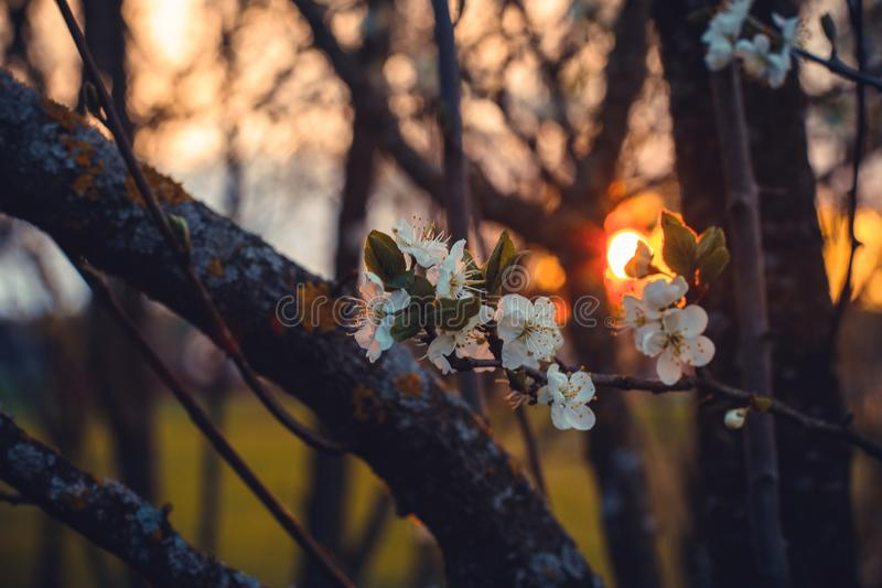 Selective Focus Photography of White Cherry Blossoms at Sunset stock photos