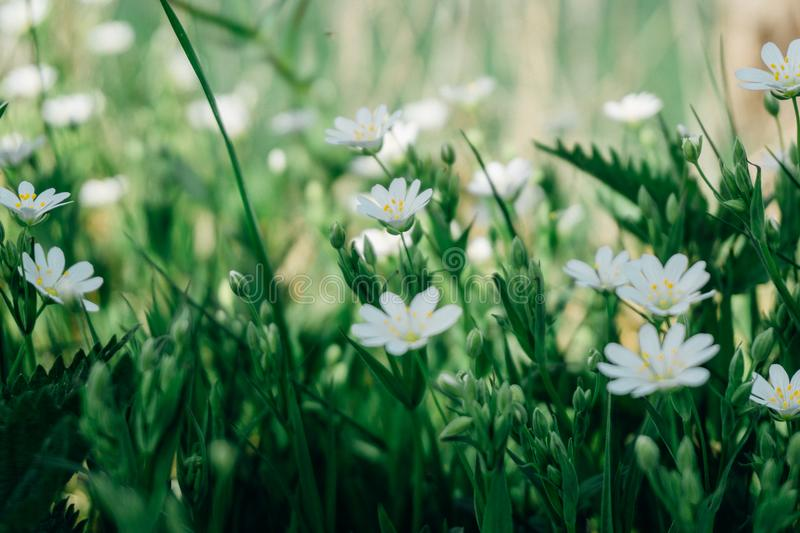 Selective Focus Photography of White Marguerite Daisy Flower royalty free stock photos