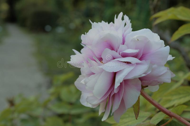 Selective Focus Photography of White and Pink Peony Flower royalty free stock photos