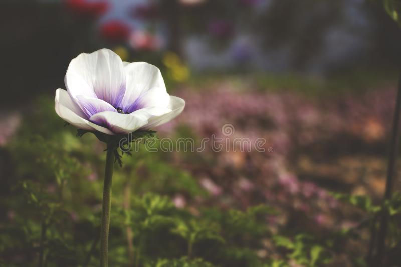 Selective Focus Photography of White and Purple Poppy Flower stock photo