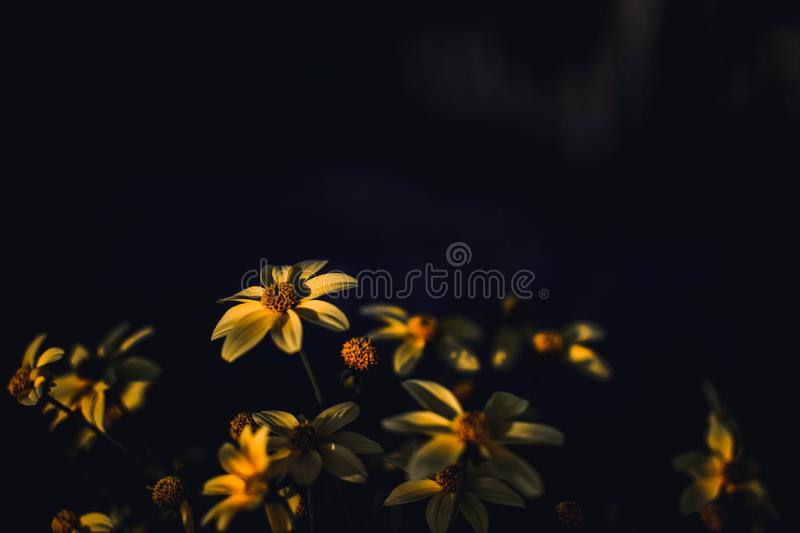 Selective Focus Photography of Yellow Daisy Flowers stock photos