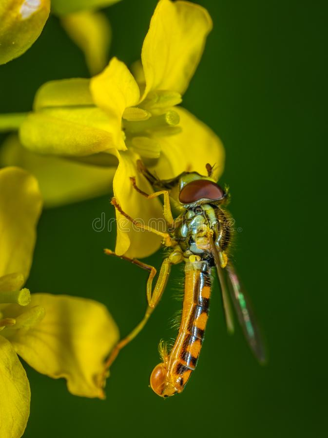 Selective Focus Photography of Yellow Robber Fly Perched on Yellow Petaled Flower stock images