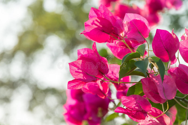 Selective focus pink bougainvillea bunch stock images