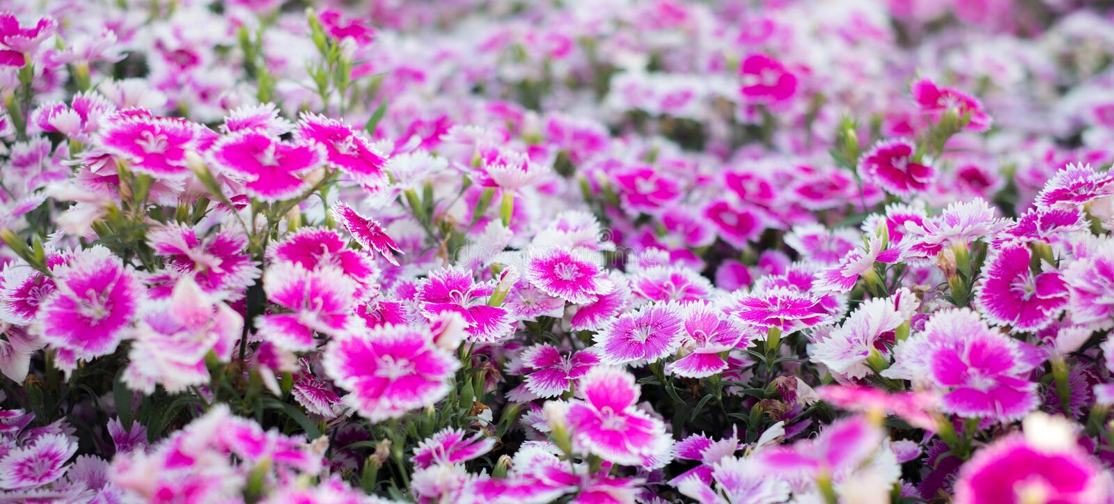 Selective Focus of Pink Flower for background wallpaper. The Selective Focus of Pink Flower for background wallpaper stock photo