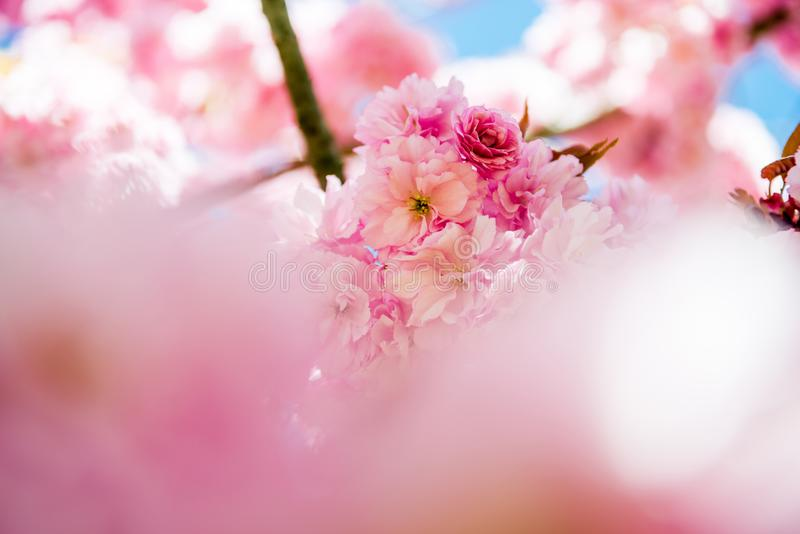 Selective focus of pink flowers on branches of cherry. Blossom tree royalty free stock photography