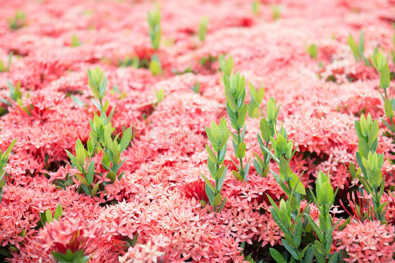 Selective focus of pink ixora flower stock image