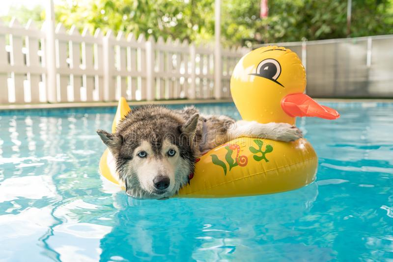 Syberien husky swimming in the pool with swim ring. Selective focus point - syberien husky swimming in the pool with swim ring royalty free stock image