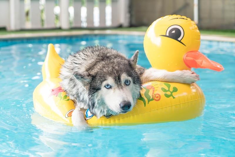 Syberien husky swimming in the pool with swim ring. Selective focus point - syberien husky swimming in the pool with swim ring stock photos