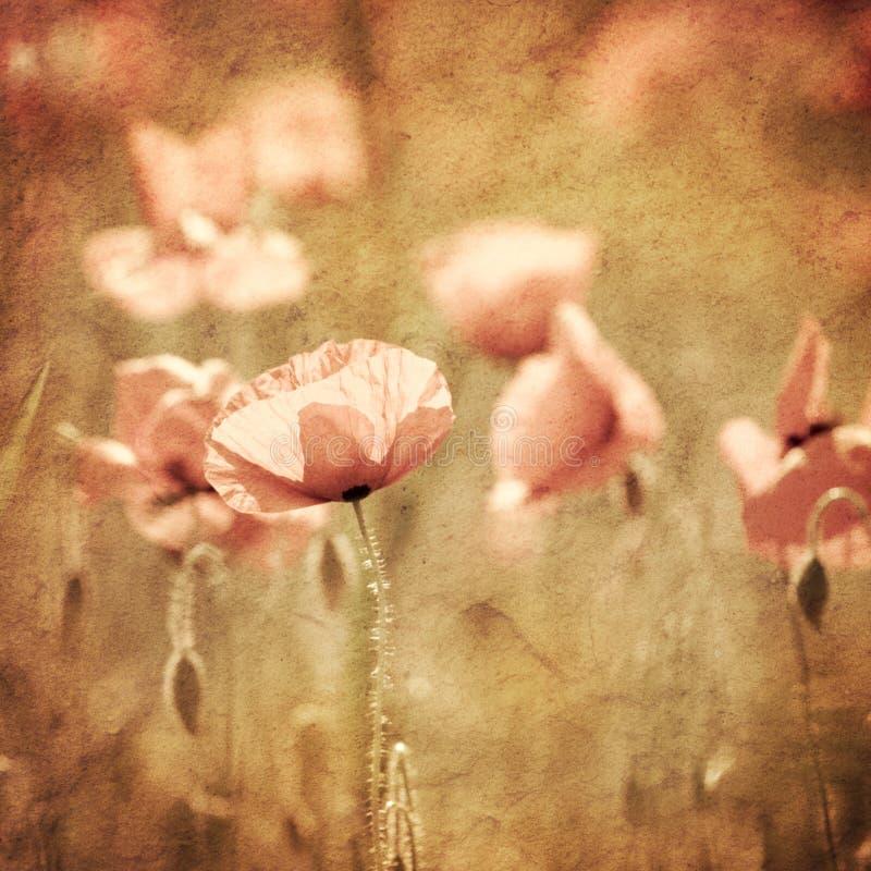 Selective focus on poppy flower royalty free stock photos