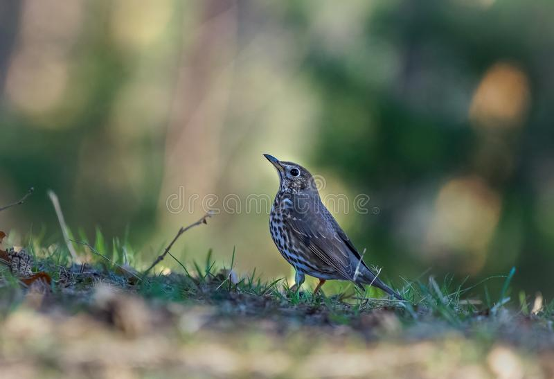 Selective focus shot of a beautiful wood thrush bird standing on a blurred background royalty free stock photo