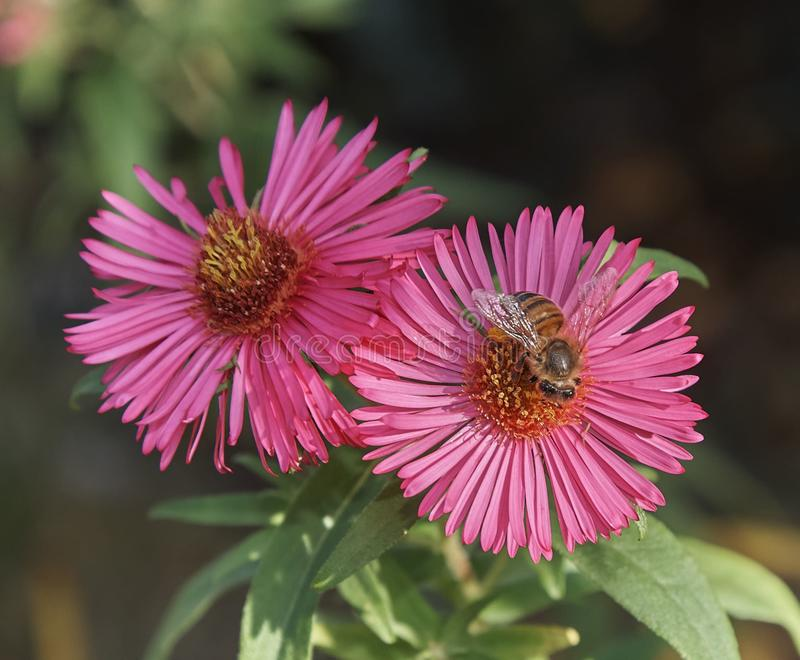 Selective focus shot of a bee sitting on a pink Hottentot-fig flower - perfect for a background stock photo
