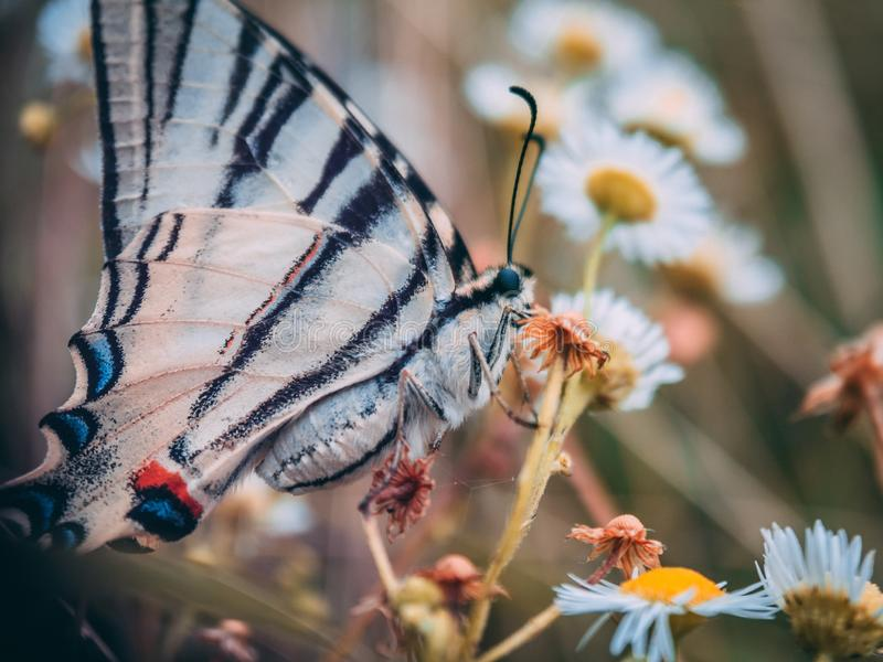 Selective focus shot of a black and white butterfly on an orange flower among white daisies stock photography