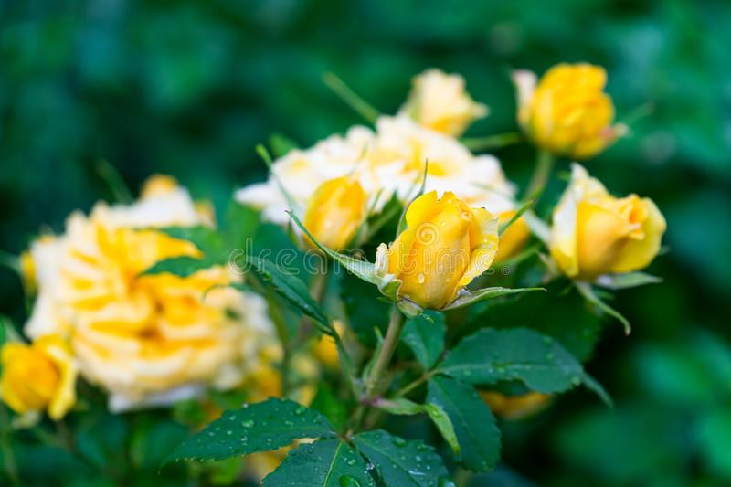 Selective focus shot of a bush of beautiful yellow garden roses. A selective focus shot of a bush of beautiful yellow garden roses stock photography
