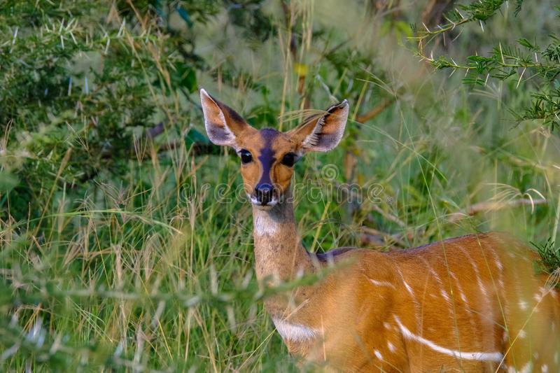 Selective focus shot of a deer looking toward the camera standing in a grassy field with plants stock image