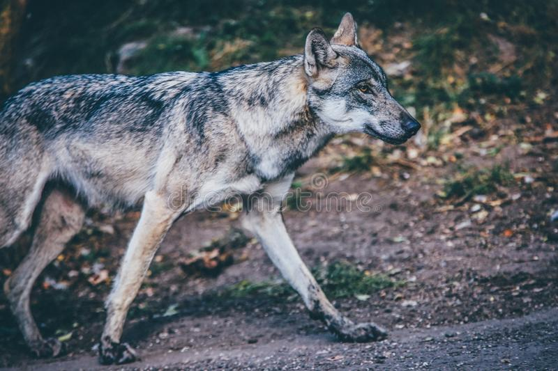 Selective focus shot of a gray wolf royalty free stock photo