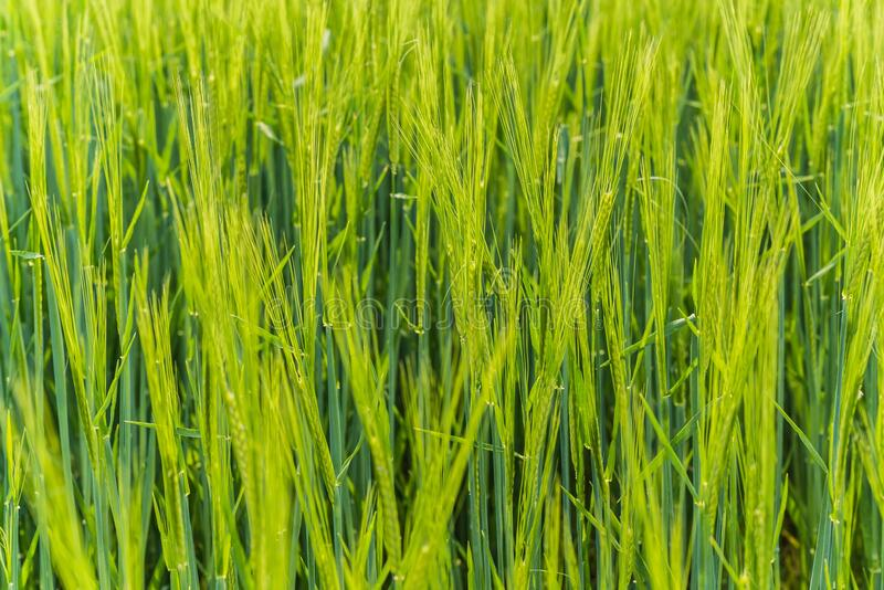 Selective focus shot of green wheat field at daytime. A selective focus shot of green wheat field at daytime stock image