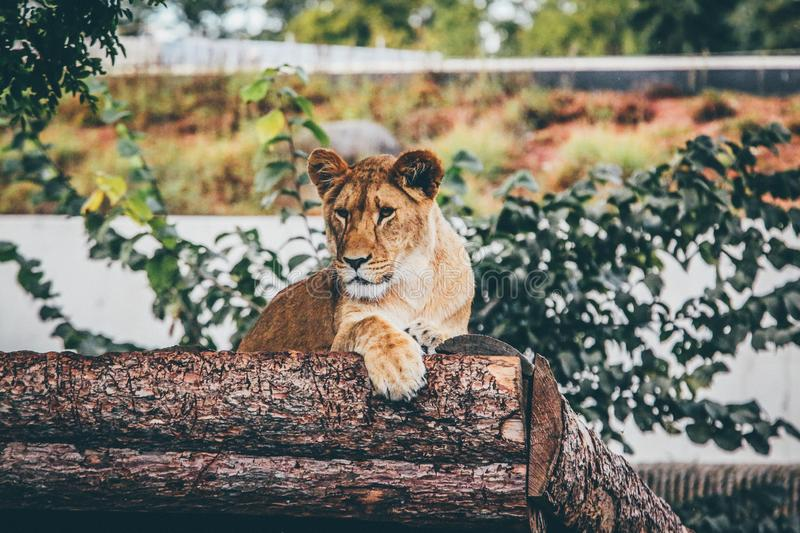Selective focus shot of a lioness leaning on a tree trunk on the blurry background of green plants royalty free stock photos