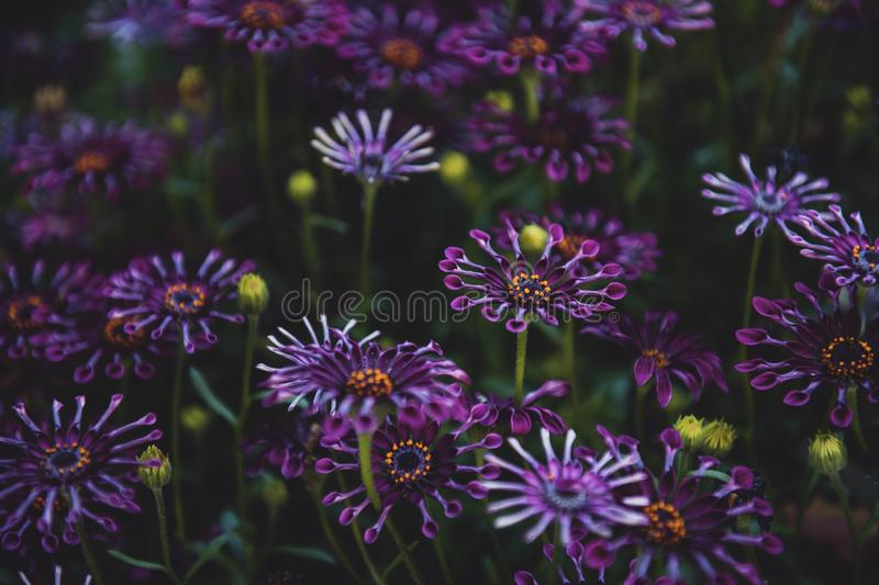 Selective focus shot of purple-petaled flowers with green leaves - great for a natural background. A selective focus shot of purple-petaled flowers with green stock photography