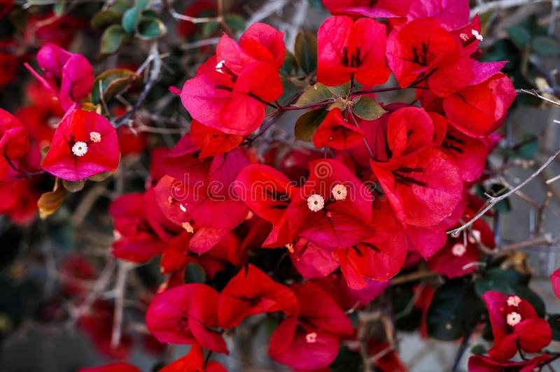 Selective focus shot of red-petaled bougainvillea branch with bloomed small flowers inside royalty free stock images