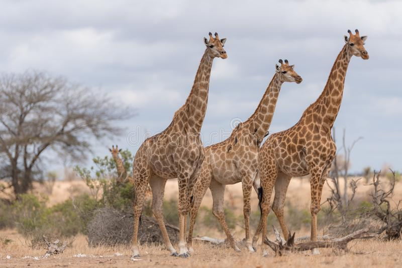 Selective focus shot of three giraffes standing near each other royalty free stock photo