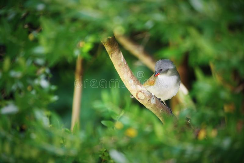 Selective focus shot of a waxbill bird on a tree branch with blurred natural background stock photo
