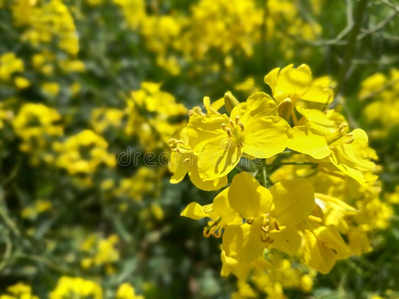 Selective focus on a single rapeseed flower in a spring field full of rapeseed stock images