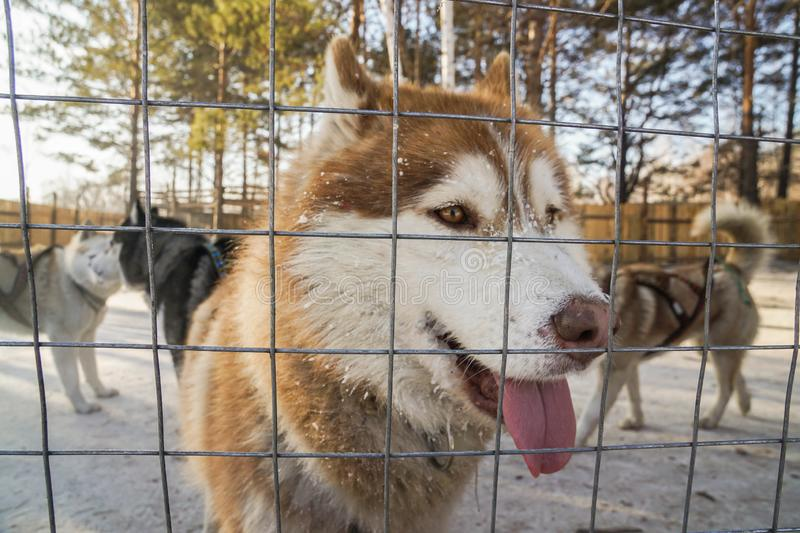 steel cage and fence to keep Siberian Husky dogs in the outdoor farm royalty free stock image