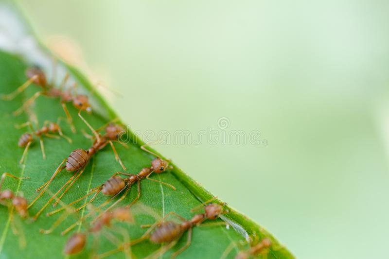 Selective focus team works red ants create their nest by green tree leaf stock images