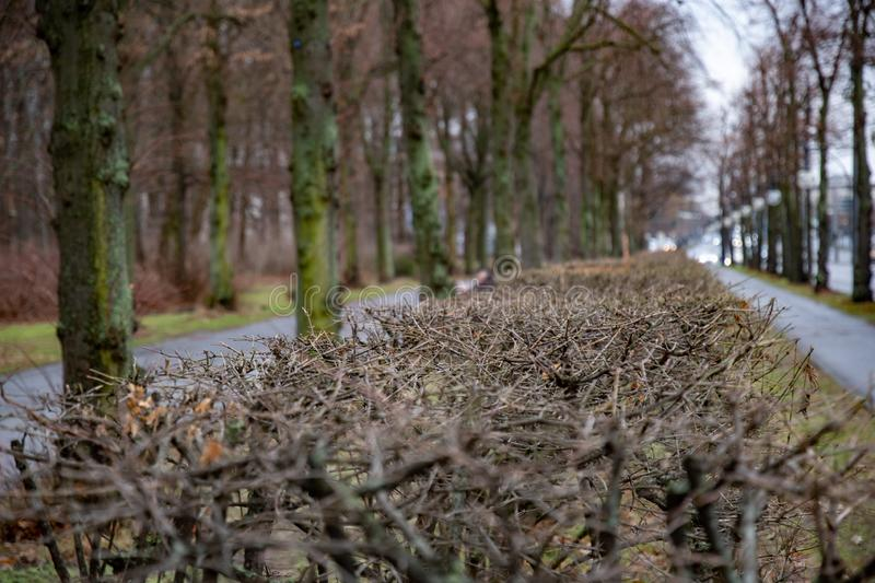 Selective focus to twigs of bushes growing beside sidewalk of alley along Tiergarten park of Berlin Germany. Perspective view. Tranquil landscape with nobody in royalty free stock photo