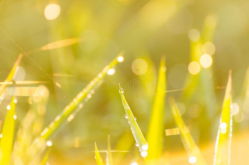 Selective focus of water drops on the green grass royalty free stock photo