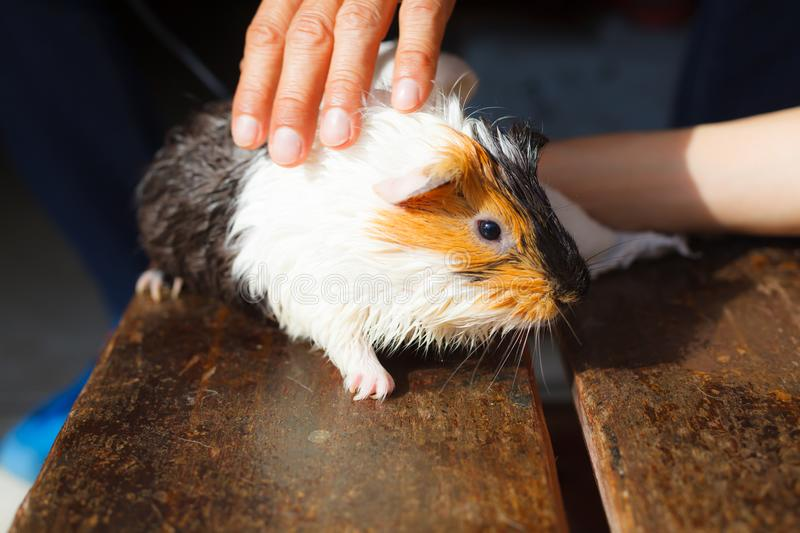 Selective focus on white, black, orange brown guinea pig drying wet fur under sunlight. royalty free stock photography