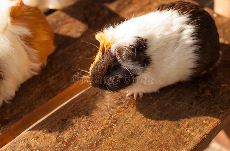 Selective focus on white, black, orange brown guinea pig drying wet fur under sunlight. royalty free stock photos