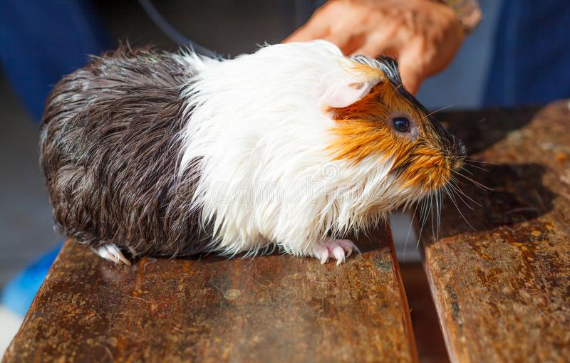 Selective focus on white, black, orange brown guinea pig drying wet fur under sunlight. The domestic guinea pig stock images