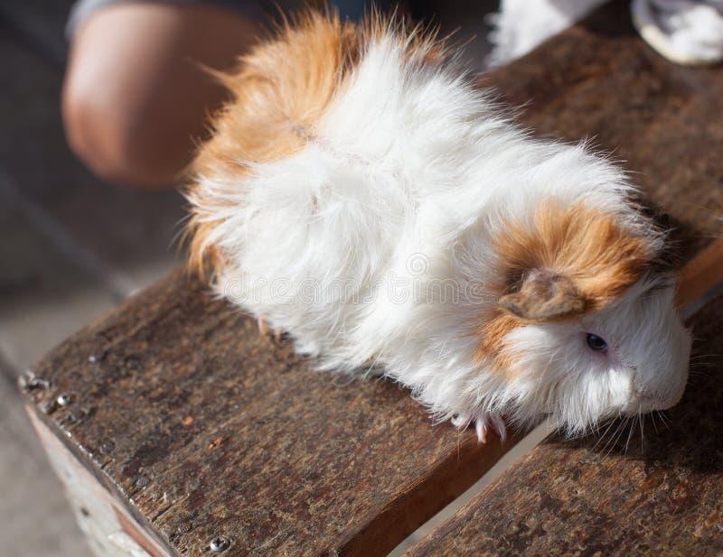 Selective focus on white, black, orange brown guinea pig drying wet fur under sunlight. royalty free stock images