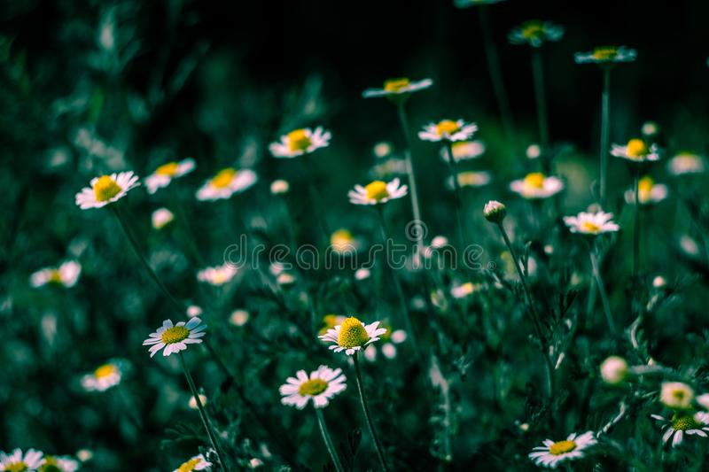 Selective Focus of White Petaled Flowers royalty free stock photography