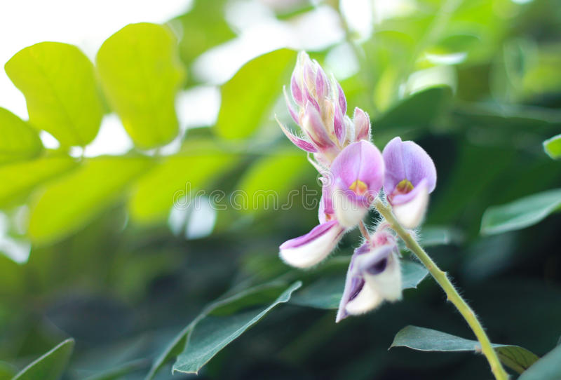 Selective focus on the white and purple color flower which is called Kan Pai Mahidol. Plant, Scientific Name is Afgekia mahidolae Burtt et Chermsirivathana royalty free stock photo
