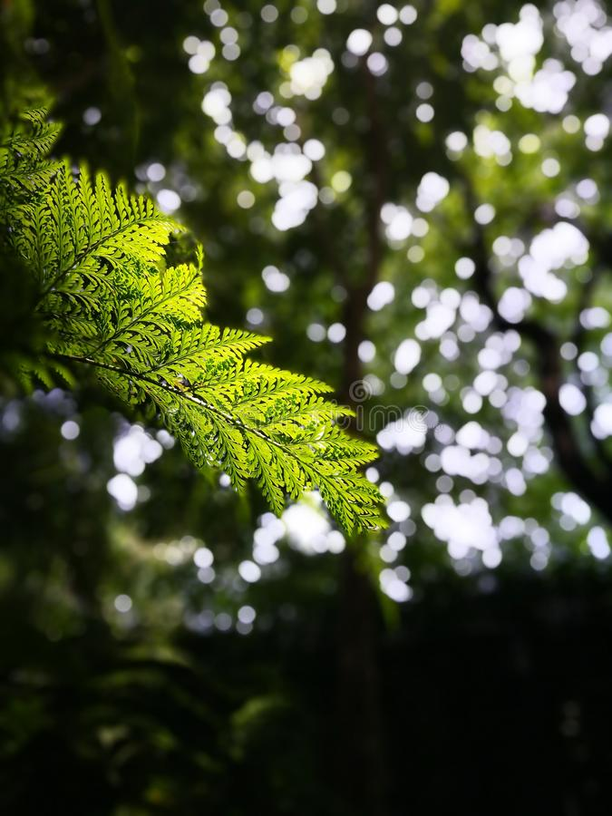 Selective focusing on  new young forth of fern leaves with bokeh of natural background royalty free stock images