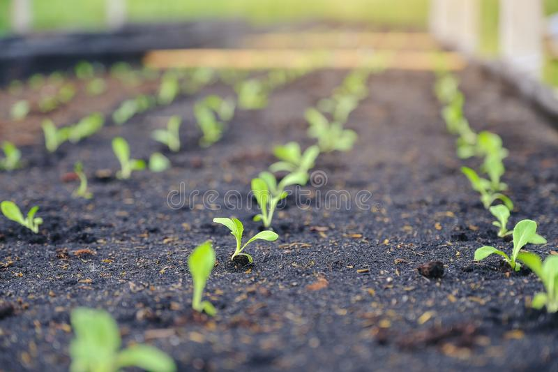 Selective of green seedling, Closeup of small saplings in garden royalty free stock images