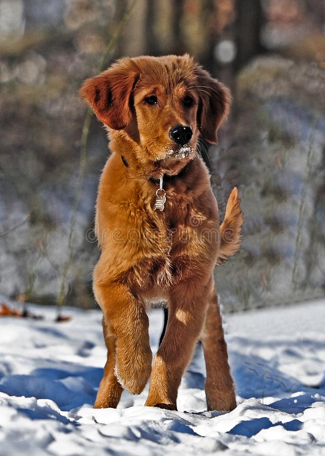 Selective Photo of Dark Golden Retriever Puppy Stands on Snowfield royalty free stock photography