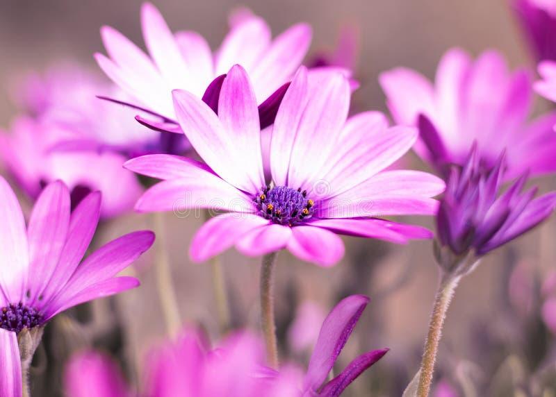 Selective Photo of Purple Daisy Flowers stock photos