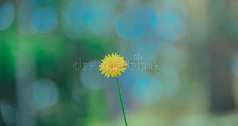 Selective Photo of Yellow Dandelion stock image